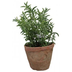 Thyme in Aged Terracotta pot Small