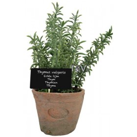 Thyme in Aged Terracotta pot Large