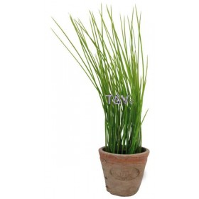 Chives in Aged Terracotta pot Small