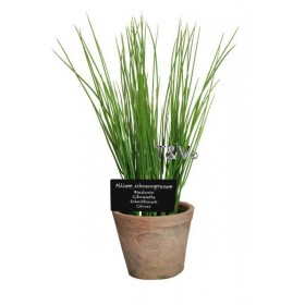 Chives in Aged Terracotta pot Large
